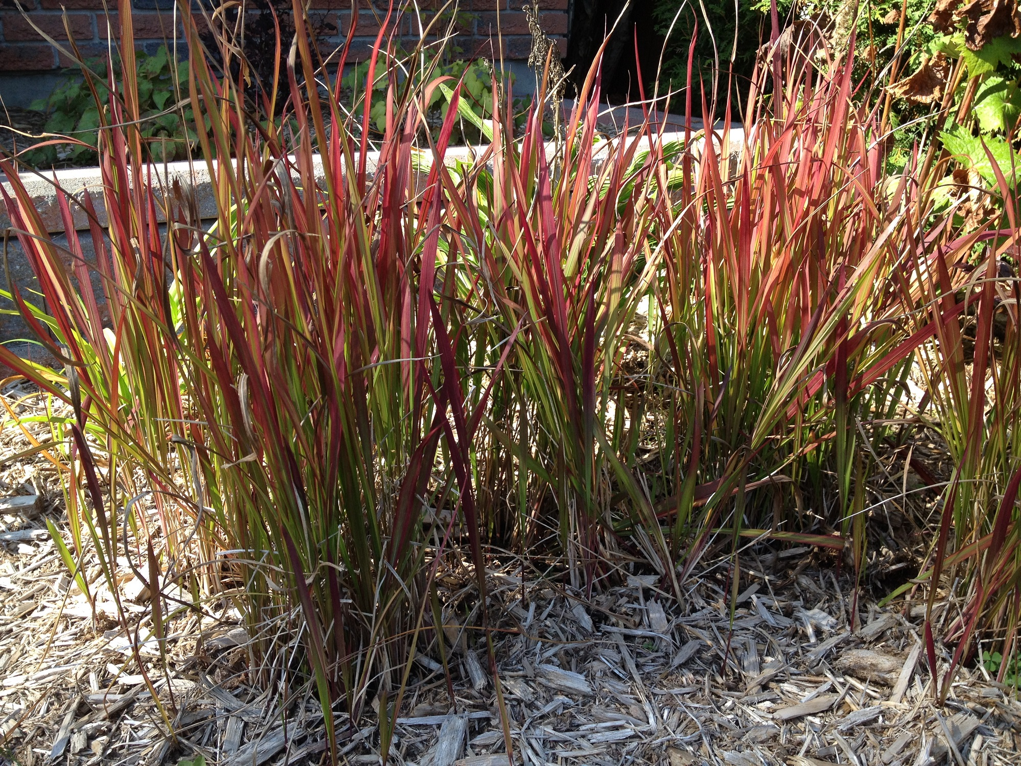 Gaia 39 s gardens kitchener waterloo cambridge stratford for Japanese ornamental grass varieties